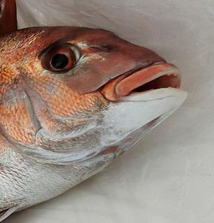 遊漁鯛サビキ