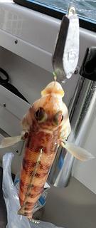 鯛サビキマダイホゴ